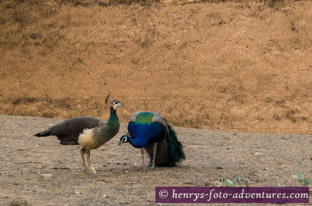 der Pfau - Wappenvogel von Rajasthan