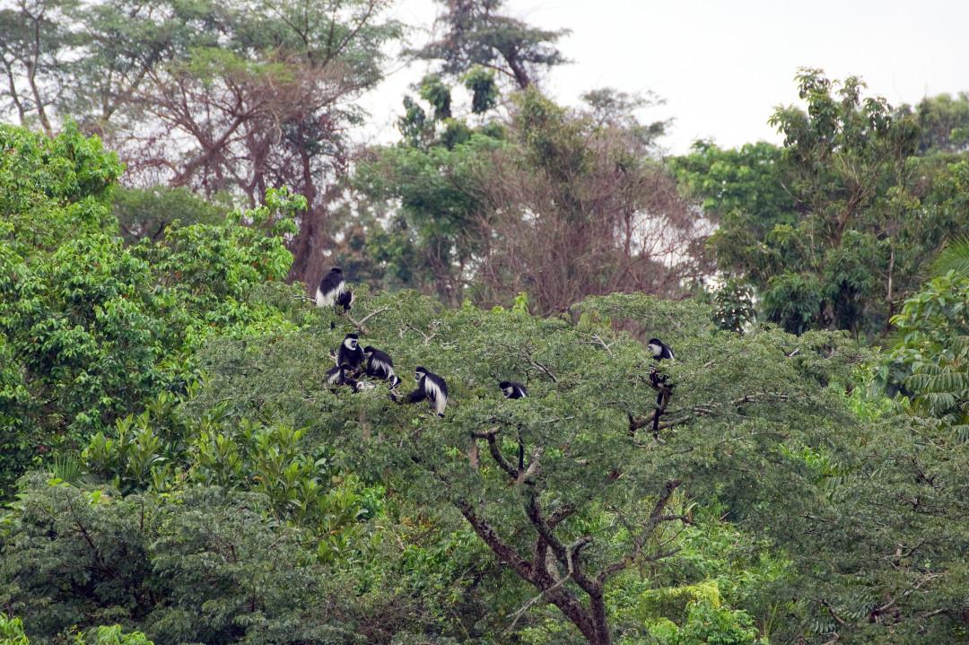 Schwarz-Weiß-Columbus Affen
