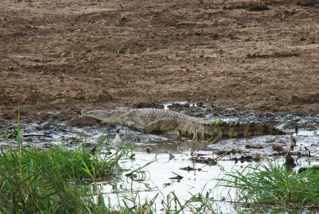 auch Krokodile gibt es hier