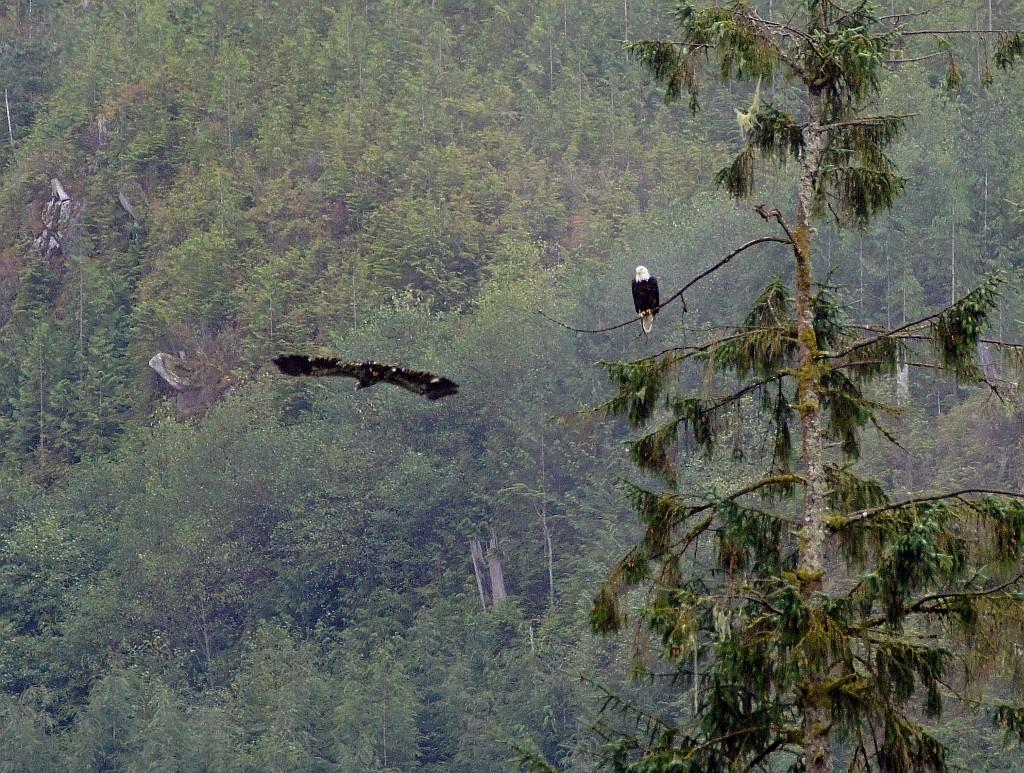 Weißkopfseeadler mit ihren riesigen Schwingen