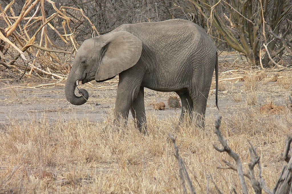 Elefantenjunges