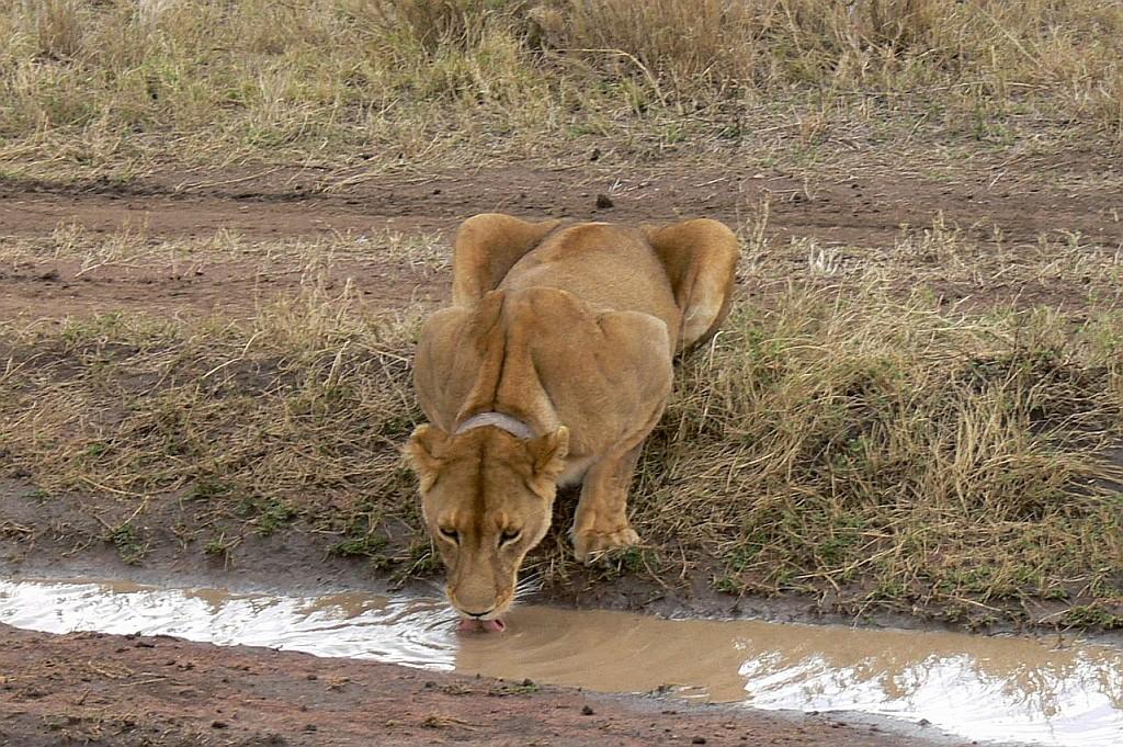 Löwe mit Hlsbandsender
