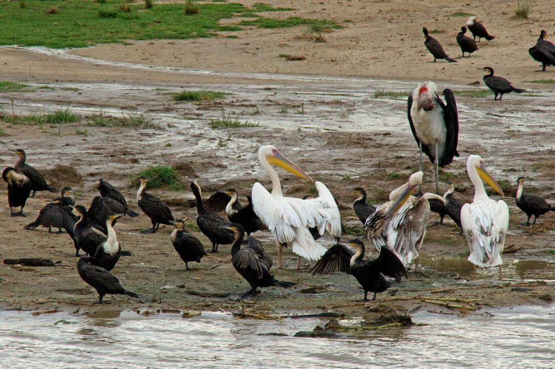 Pelikane, Marabus und Kormorane
