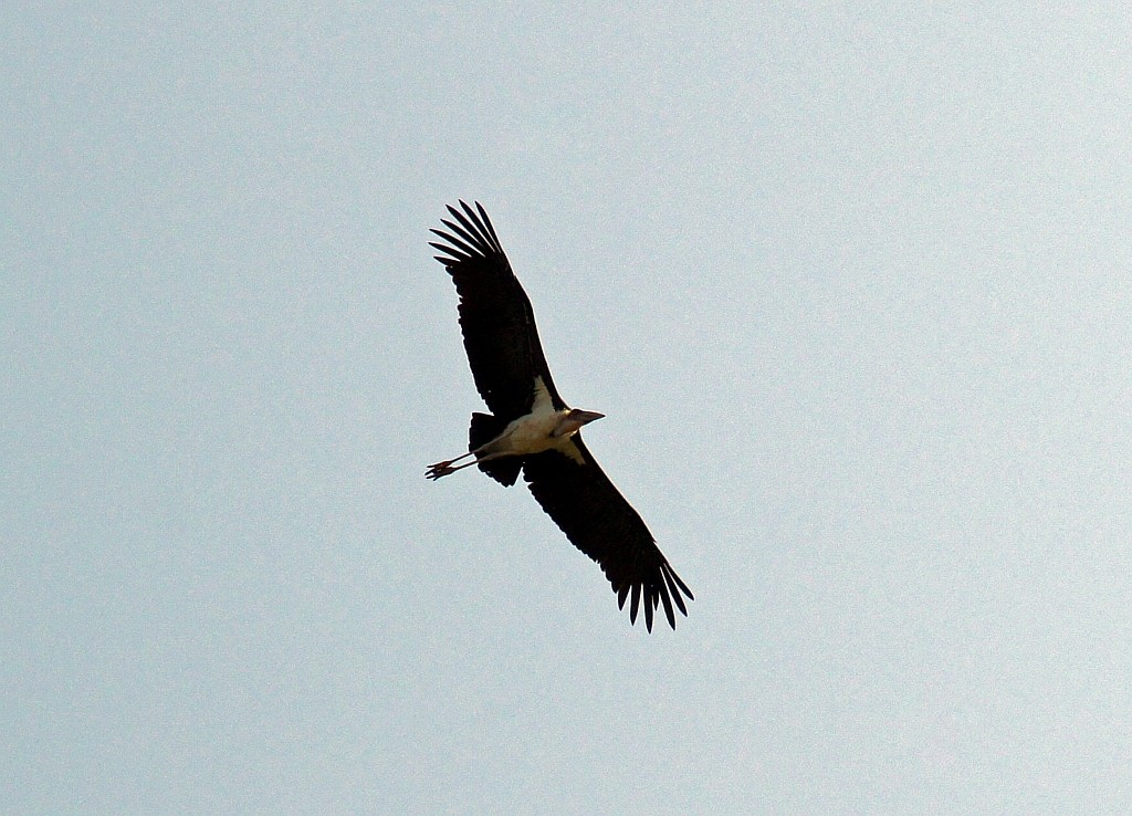 fliegender Marabu