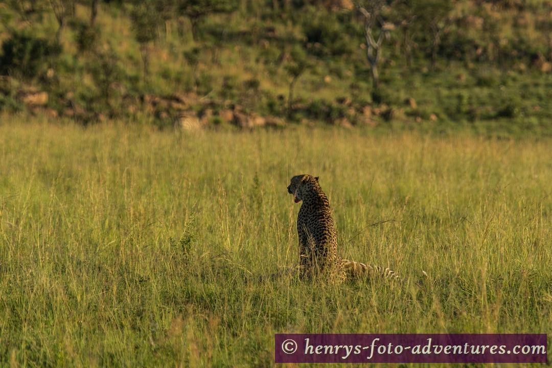 Cheetah - ein Leopard beim Frühstück