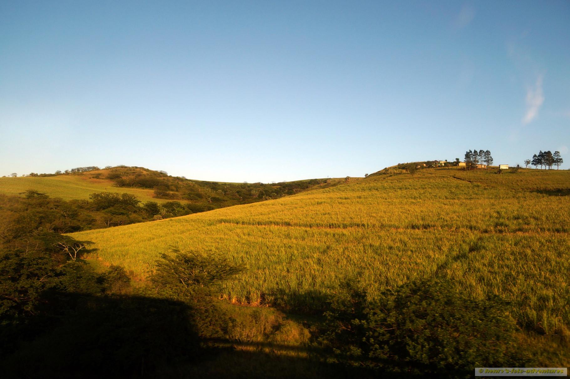 Morgensonne färbt die Zuckerrohrfelder in sanftes Licht