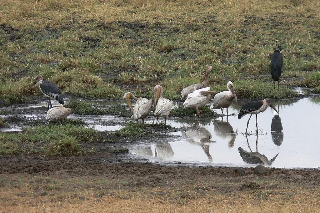 Pelikane und Marabus