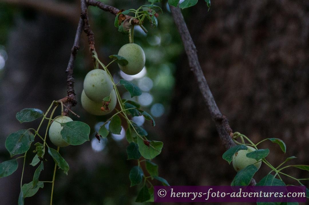 Amarula Früchte, die Bais für einen köstlichen Likör