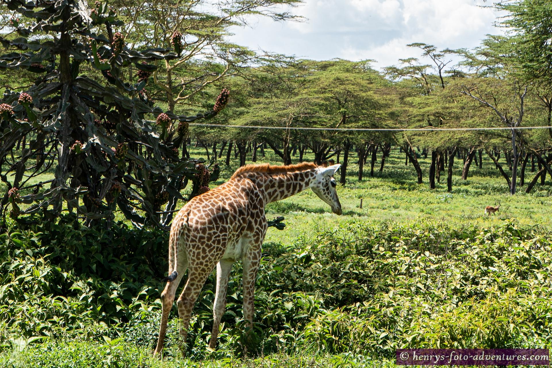 recht nett so zwischen den Wildtieren herumzuwandern