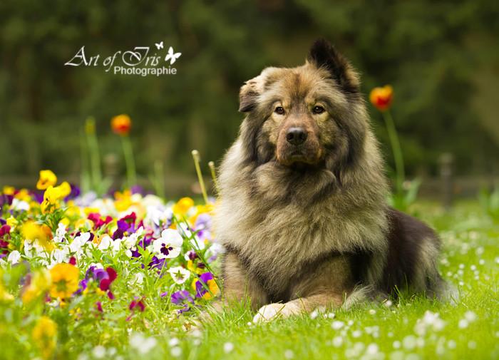 Eurasier vom Bärenstern Teddy