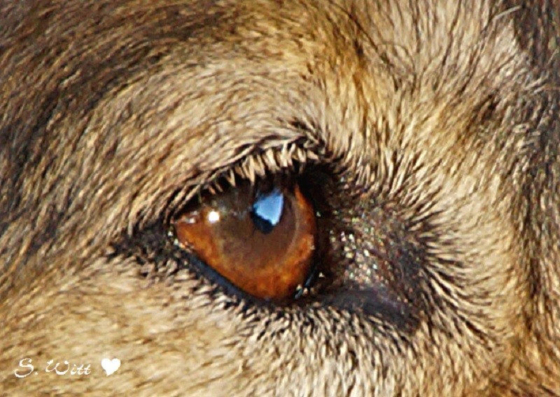 Hundeaugen sind die Spiegel ihrer Seele