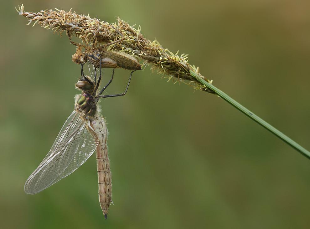 Flügel und Hinterleib sind aufgepumpt; es folgt die nächste Trocknungsphase