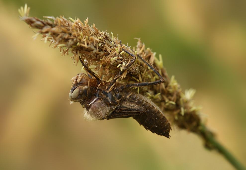 Die Larvenhaut platzt hinter den Augen und zwischen den Flügeln auf