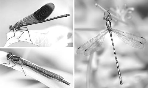Flügelhaltung von Kleinlibellen: Parallel zum Körper oder nach hinten abgewinkelt