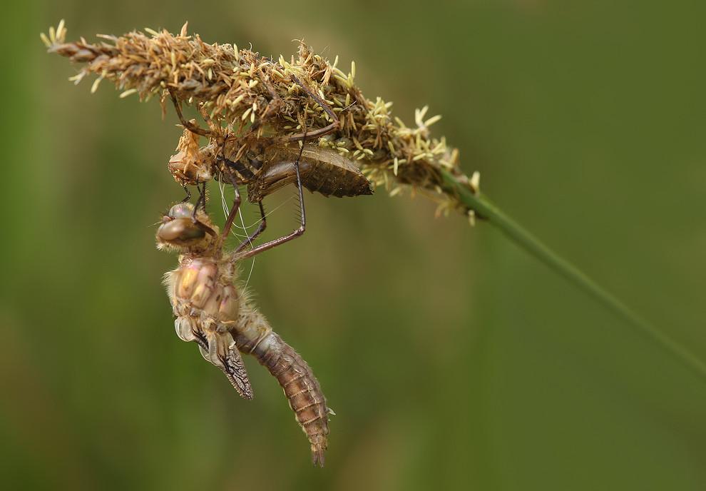 Das Imago ist geschlüpft, die Flügel beginnen sich aufzupumpen