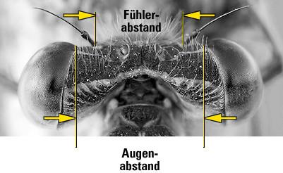 Augenabstand bei Kleinlibellen: Größer als der Fühlerabstand