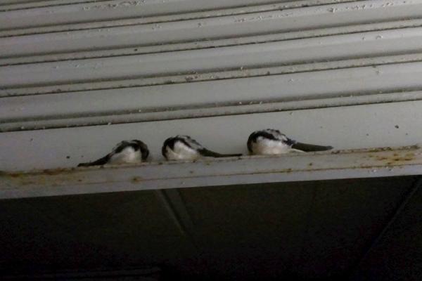 シャッターの裏側で眠る3羽のツバメ