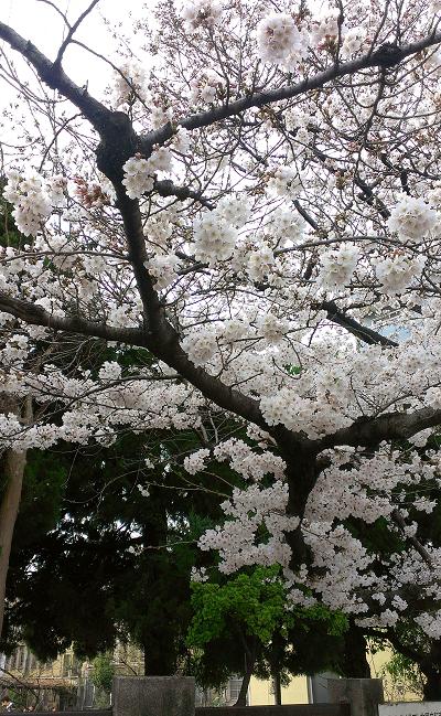 2014年3月京都の桜が咲き始めました