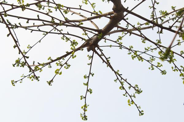 寺町通のイチョウ並木、新芽のシーズン2