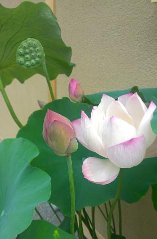 コロットジュエリーワークス付近のお店で見かけた蓮の花