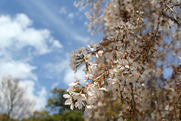 2014年4月花見、大報恩寺(千本釈迦堂)1