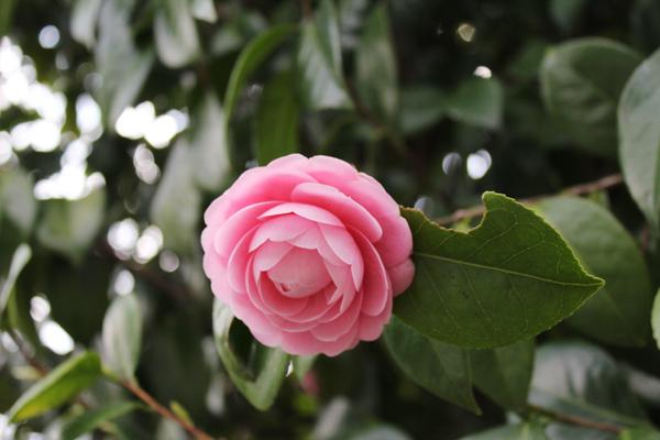 2014年4月花見、大報恩寺(千本釈迦堂)4
