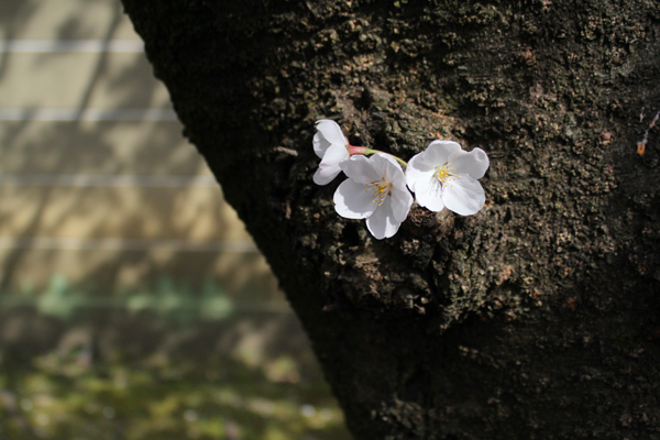 2014年4月花見、大報恩寺(千本釈迦堂)3