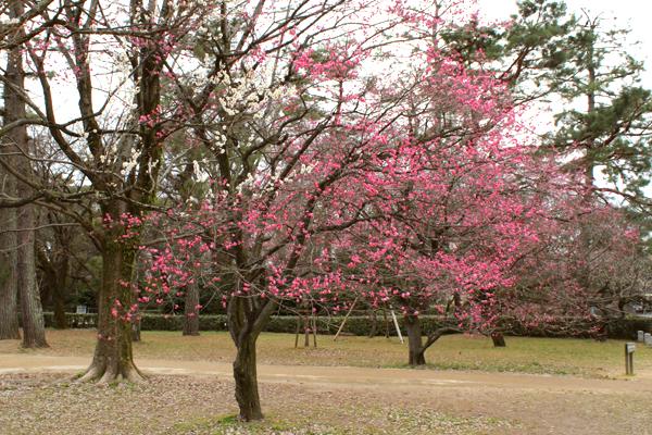 2014年3月京都御苑の梅、咲きはじめの様子