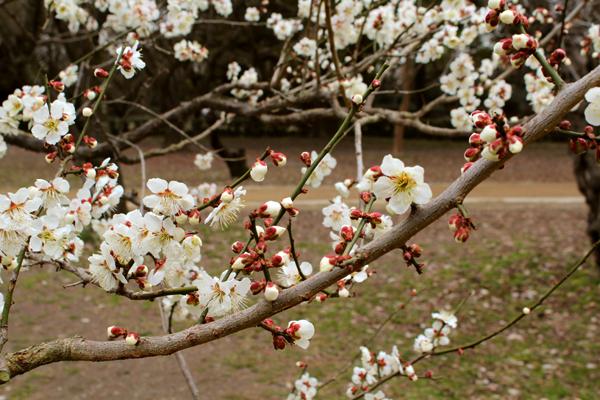 2014年3月京都御苑の桜、咲きはじめの様子2