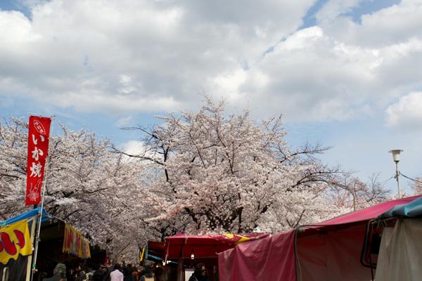 2014年4月花見、平野神社3