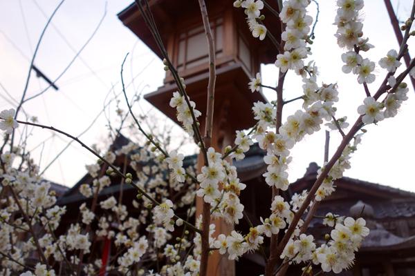 2015年3月、下御霊神社の梅咲き始め2