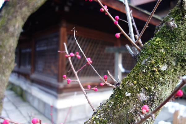 2015年3月、下御霊神社の梅咲き始め1