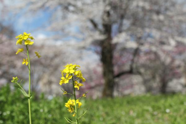 2014年4月花見、平野神社4