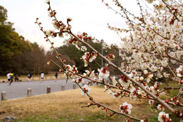 2014年3月京都御苑の桜、咲きはじめの様子