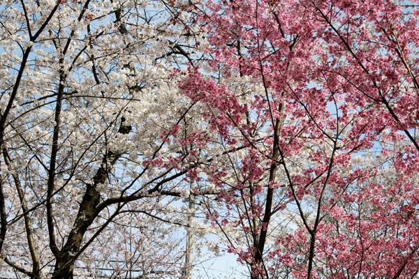 2014年4月花見、平野神社2