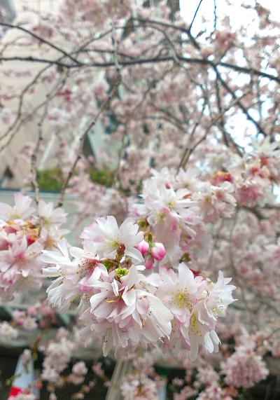 2014年3月中旬、御池通沿いの早咲きの桜