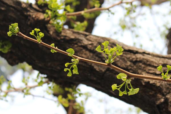 寺町通のイチョウ並木、新芽のシーズン1
