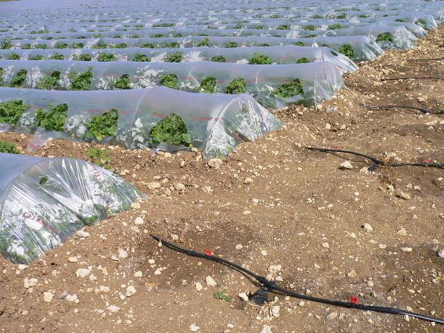 Sa culture site de melons marsol - Culture du melon charentais ...
