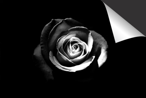Zwart Roos