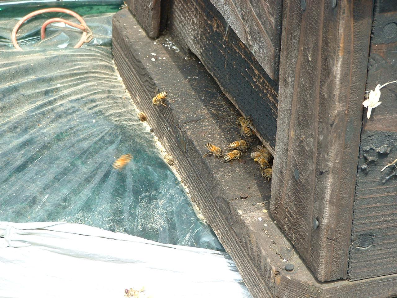 受粉はミツバチが頑張ってくれています