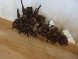 Fledermäuse in ihrer Wochenstube in Wassenberg, Sept. 2009 (Foto: M. Straube)