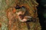 Braunes Langohr (Plecotus auritus) in Baumhöhle (Foto: NABU, K.Bogon)
