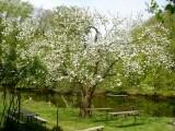 Blühender Apfelbaum (Foto: NABU)