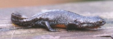 Bergmolch (Triturus alpestris)