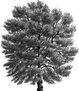 Die Schwarzpappel  Popolus nigra