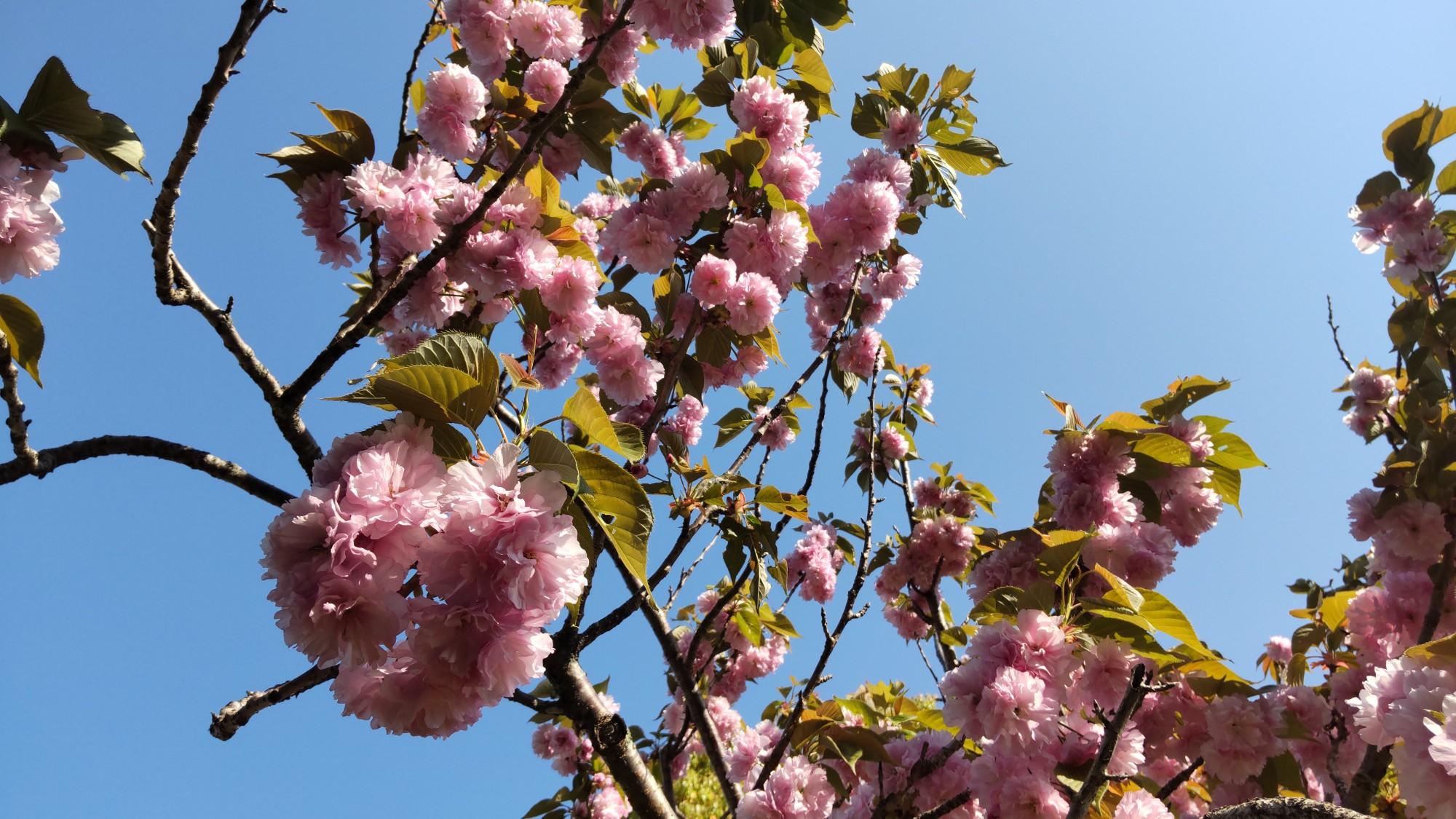 青空に桜  映えます!