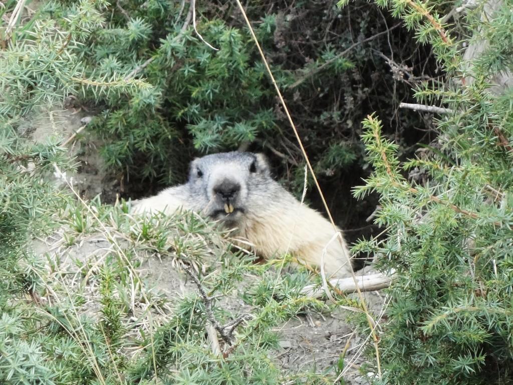 Vallée d'Ossoue - Marmotte