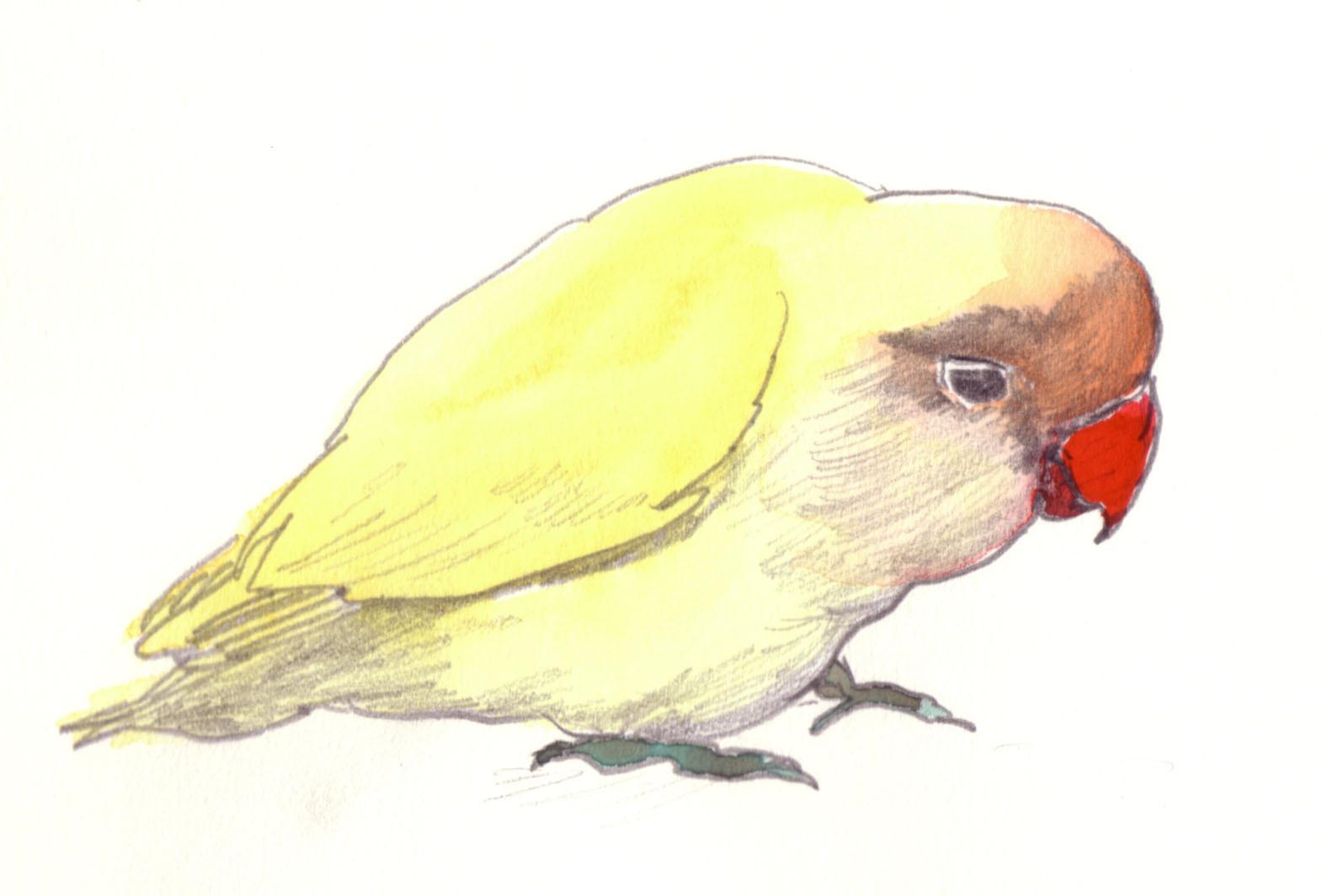 """""""コザクラインコ""""  watercolor,paper 10×14.8cm"""