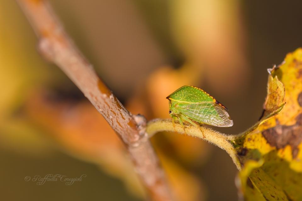 Cicadella bisonte