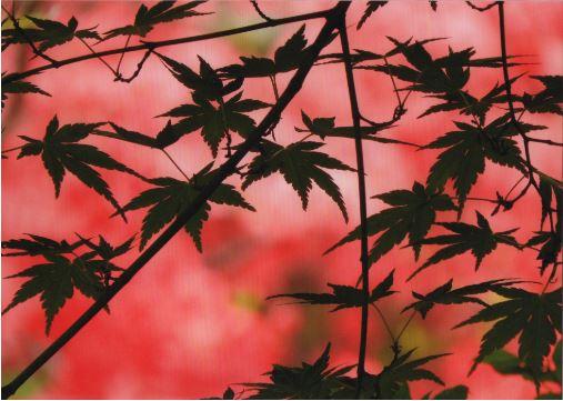 スィートピー  紅葉